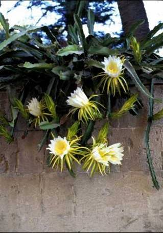 Cactus flowers on the garden wall 1998