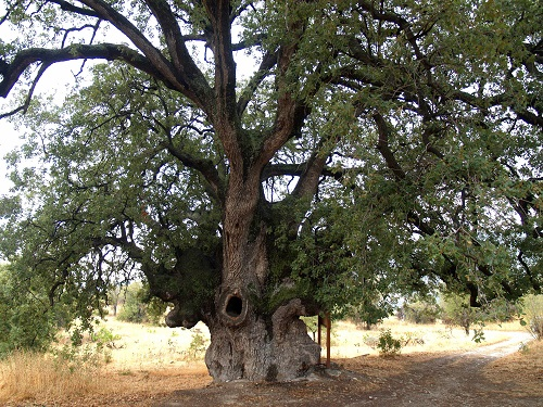 Laneia, century-old oak tree.